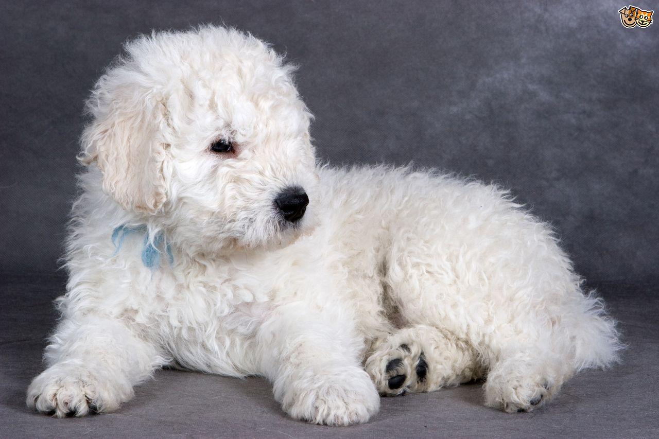 Komondor Puppies: Komondor The Amazing Komondor Dog Hungarian Sheepdog Breed