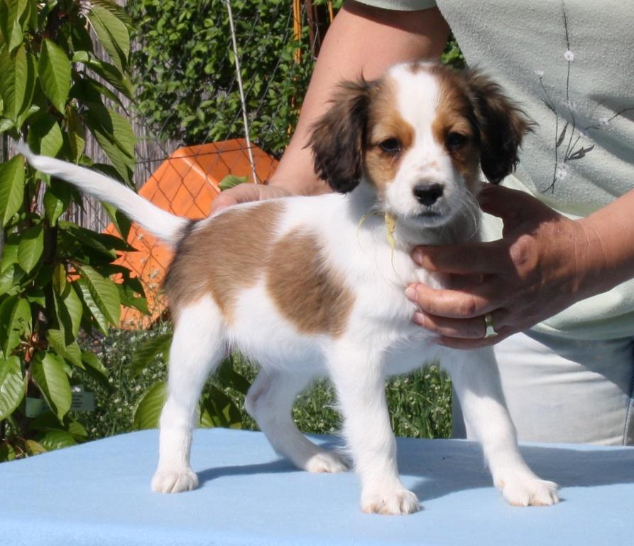 Kooikerhondje Dog: Kooikerhondje Aliz Dog From Wonderland Breed