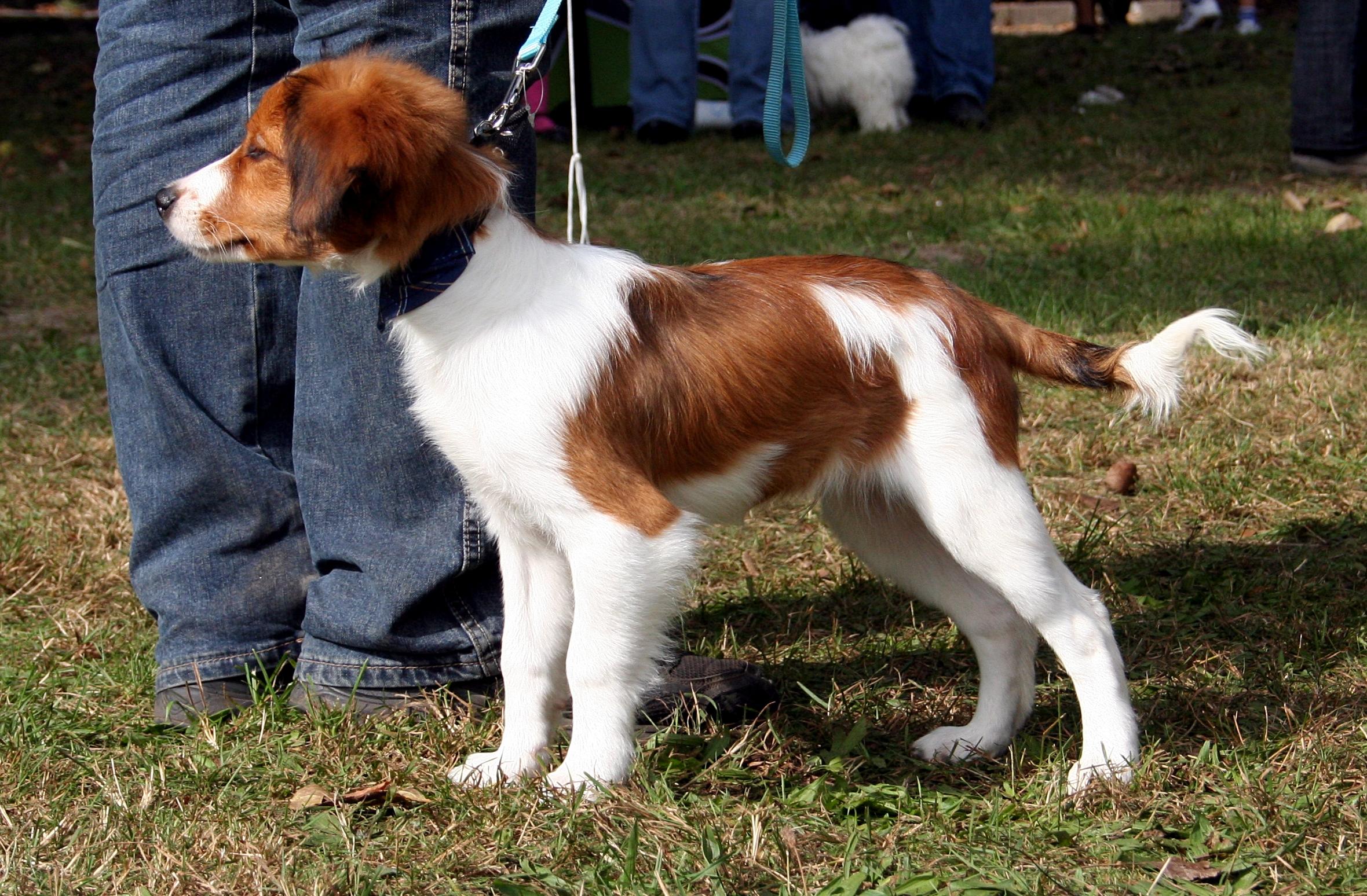 Kooikerhondje Dog: Kooikerhondje Kooikerhondje Puppies Breed