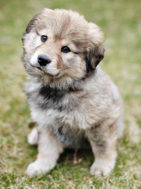 Kooikerhondje Puppies: Kooikerhondje Layla The Mixed Breed