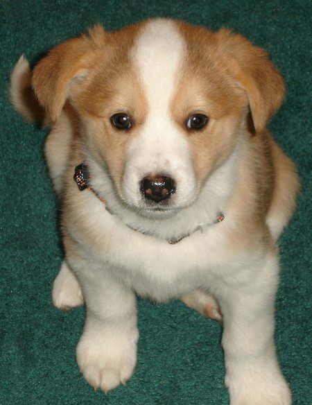 Kooikerhondje Puppies: Kooikerhondje Lola The Mixed Breed