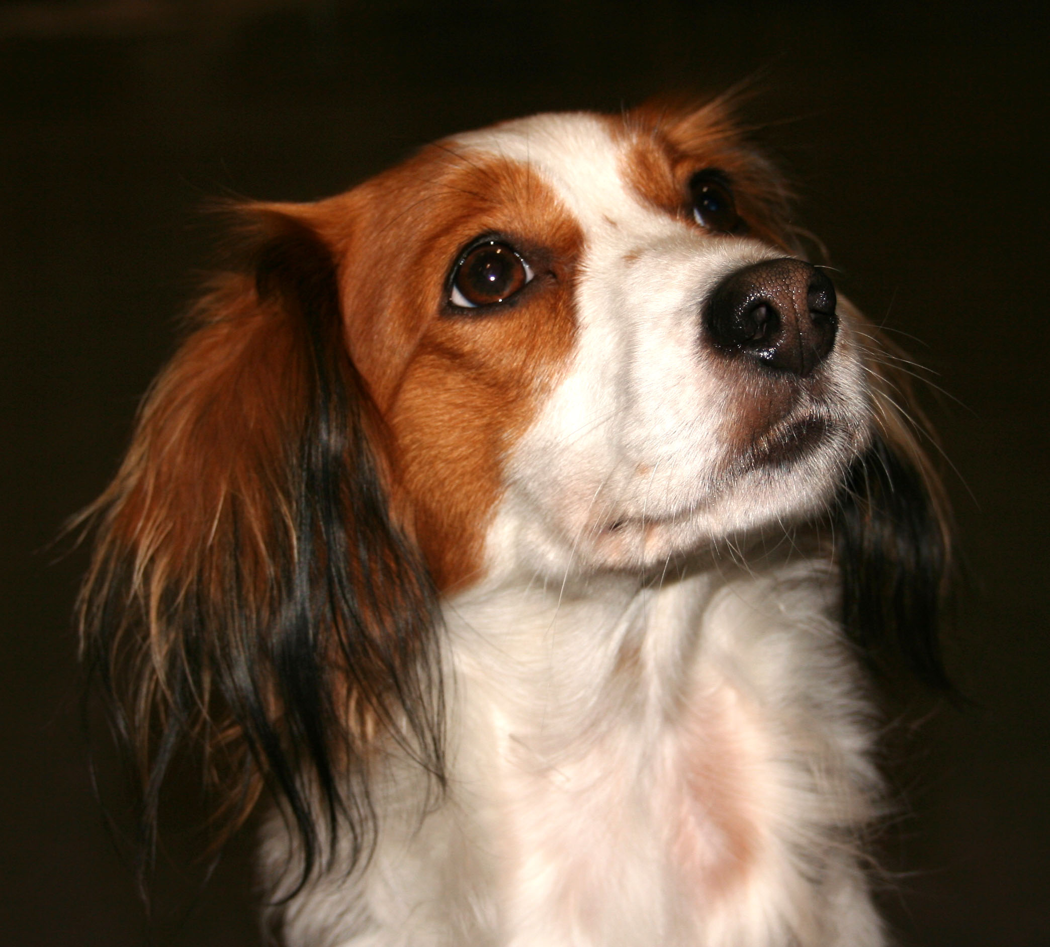 Kooikerhondje Puppies: Kooikerhondje Lovely Kooikerhondje Dog Breed