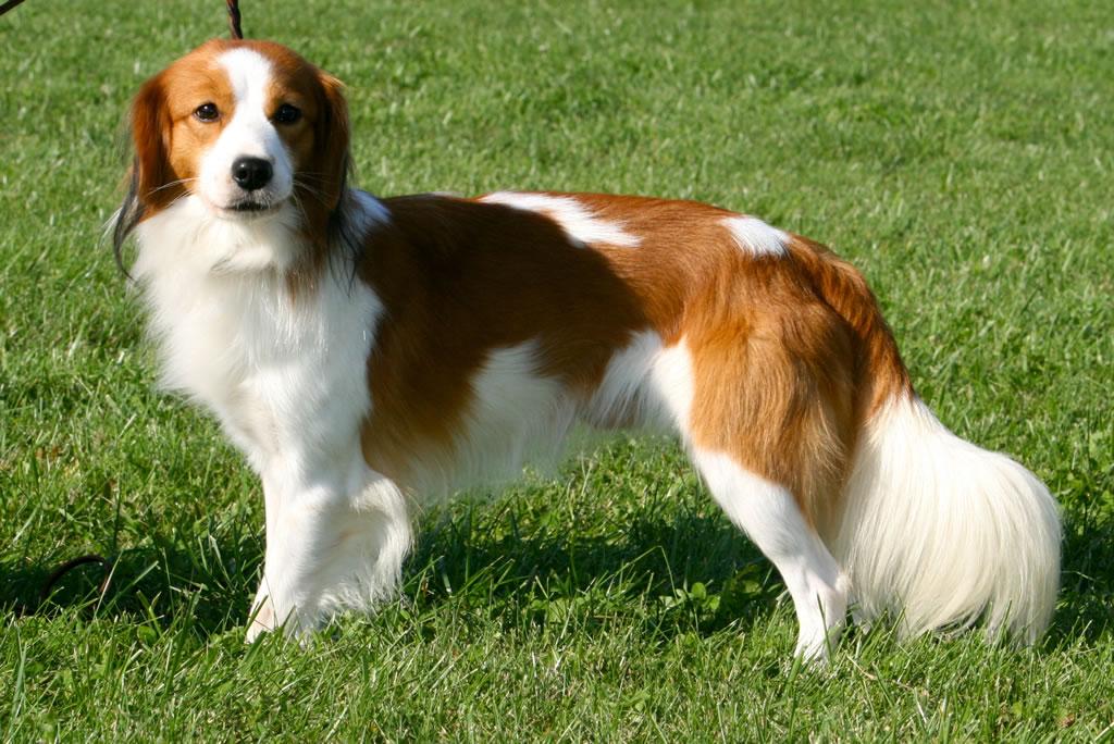 Kooikerhondje Dog: Kooikerhondje Pequeno Cao Holandes De Caca Breed