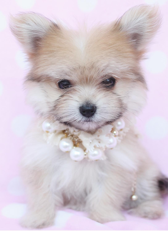 Kooikerhondje Puppies: Kooikerhondje Puppy Breed