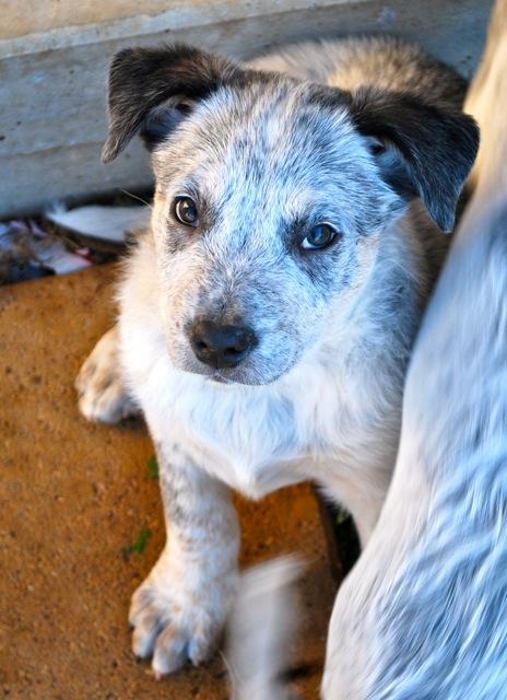 Koolie Dog: Koolie Alice Female Australian Cattle Dog X Koolie Puppy Bendigo Vic Breed