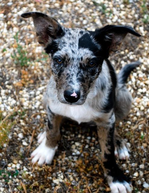 Koolie Puppies: Koolie Australian Koolie Puppy Breed