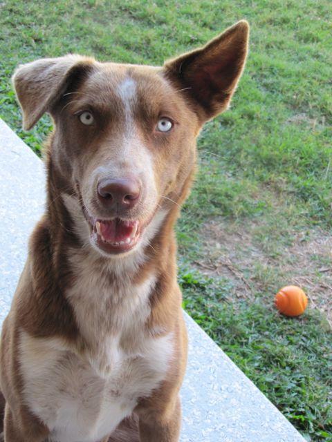 Koolie Dog: Koolie Coco Young Female Kelpiekoolie Cross Brisbane Qld Breed
