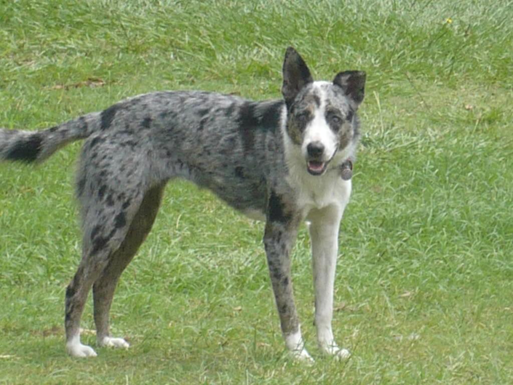 Koolie Dog: Koolie Koolie Dog Breed