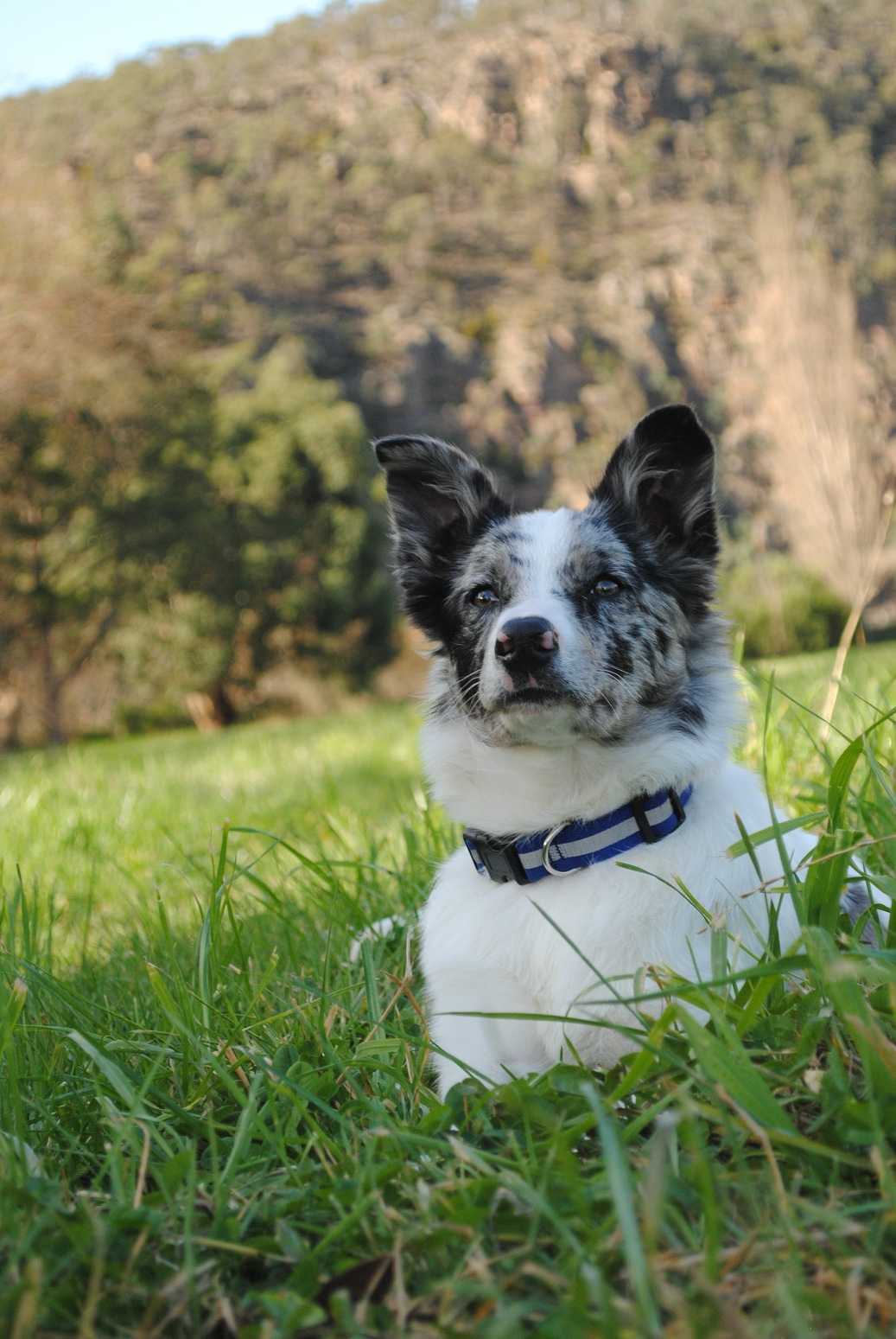 Koolie Dog: Koolie Koolie Dog On The Grass Breed
