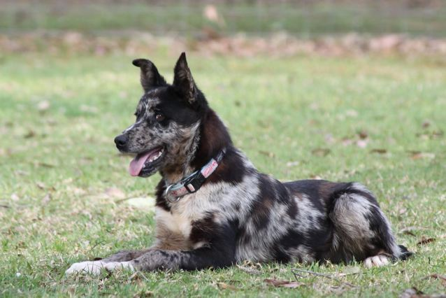 Koolie Dog: Koolie Male Koolie Approx Months Old Griffith Pound Nsw Breed