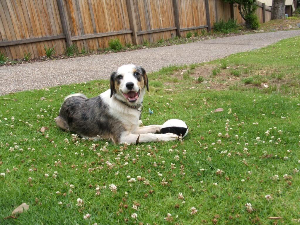 Koolie Dog: Koolie Resting Koolie Dog Breed