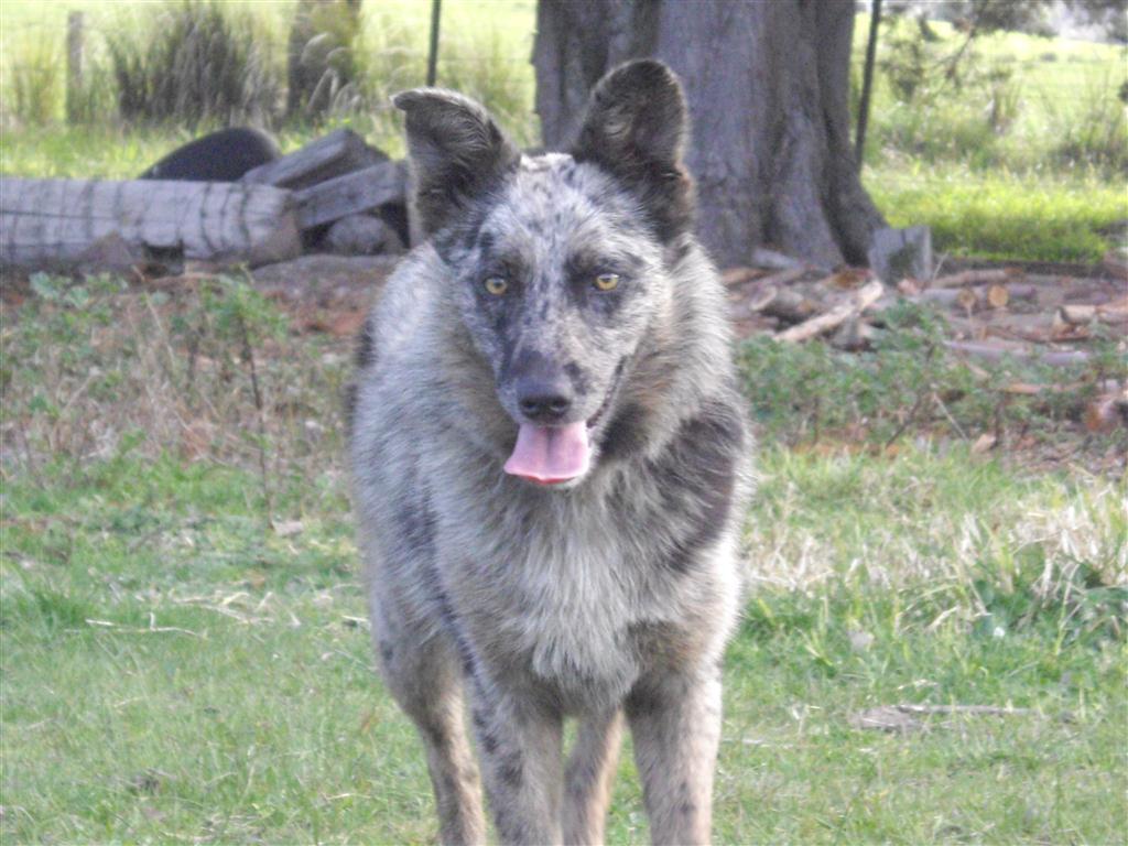 Koolie Dog: Koolie Skipper Female Koolie Years Old Breed