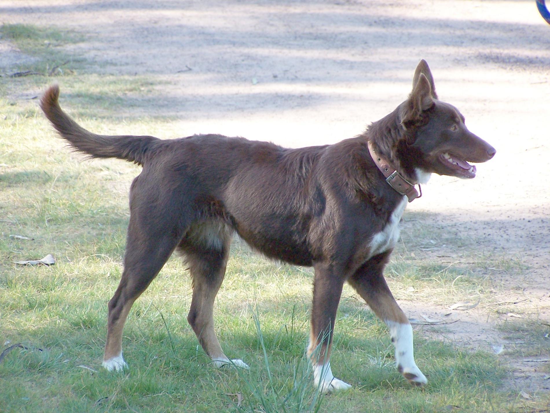 Koolie Dog: Koolie Walking Koolie Dog Breed