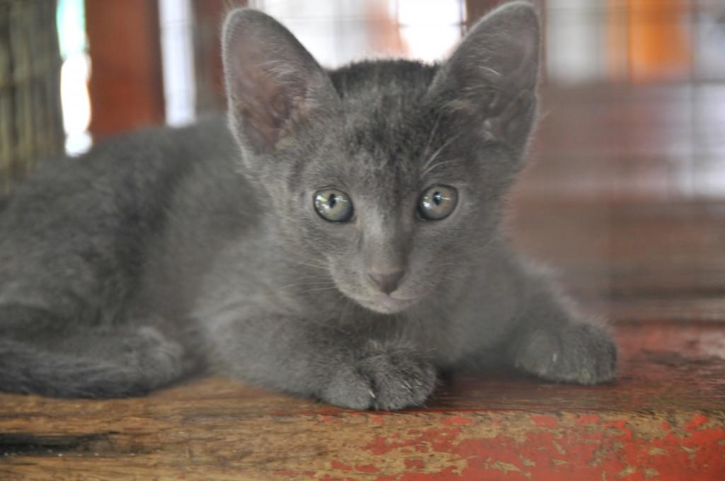 Korat Kitten: Korat Ayyxqgaldgvucw Breed