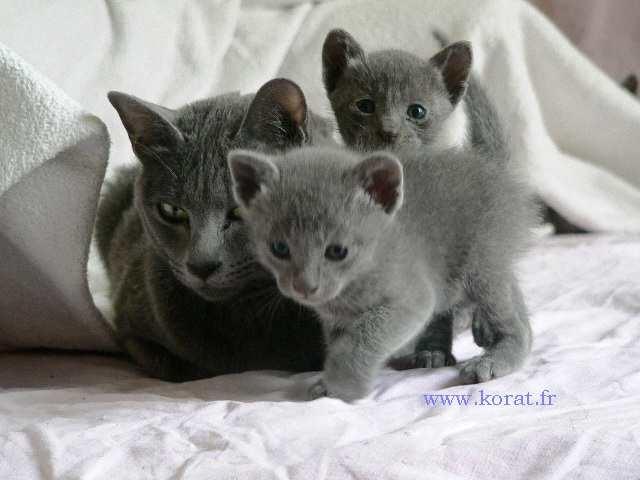 Korat Kitten: Korat Breed