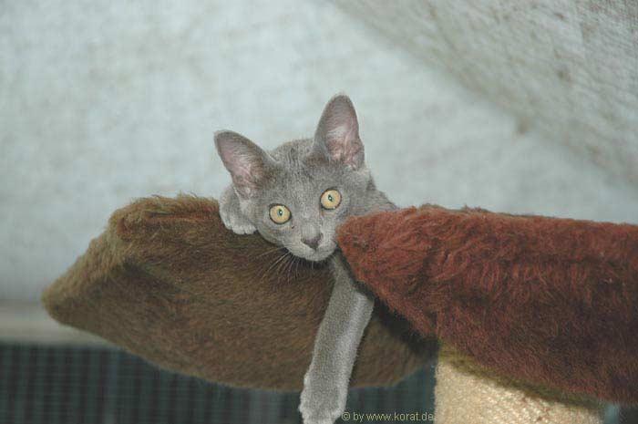 Korat Kitten: Korat Galle Breed