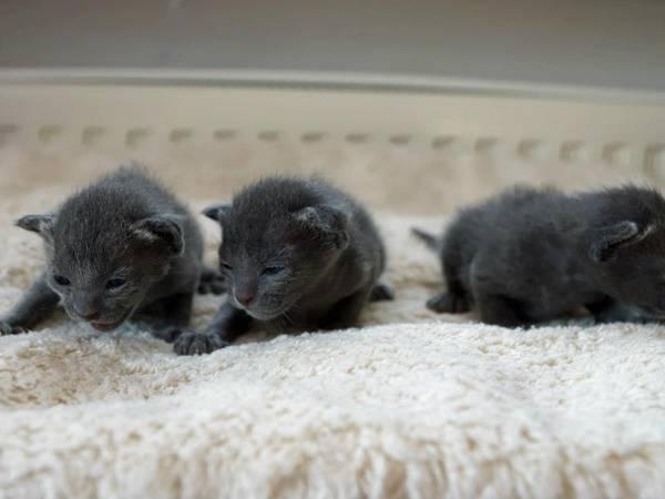 Korat Kitten: Korat Korat Breed