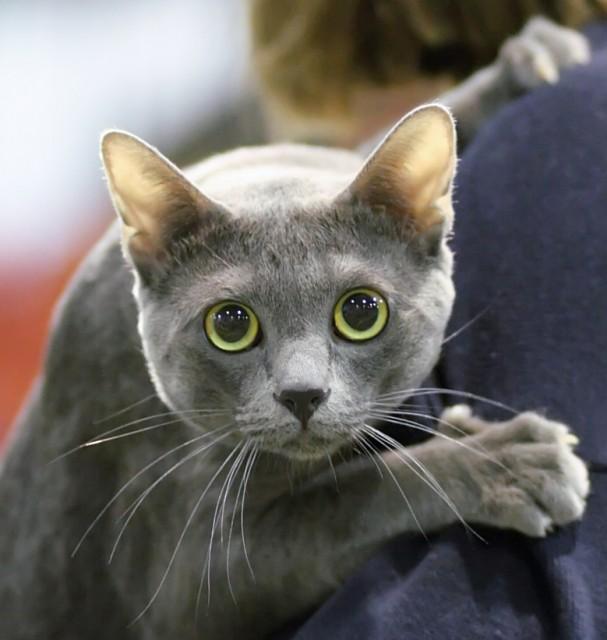 Korat Kitten: Korat Korat Cat Breed Profile