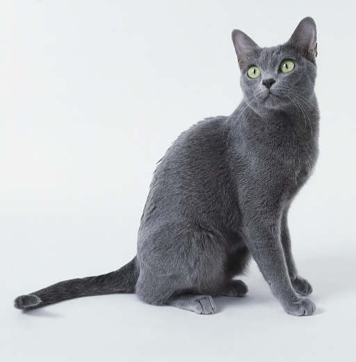Korat Cat: Korat Korat Cat Pictures Breed