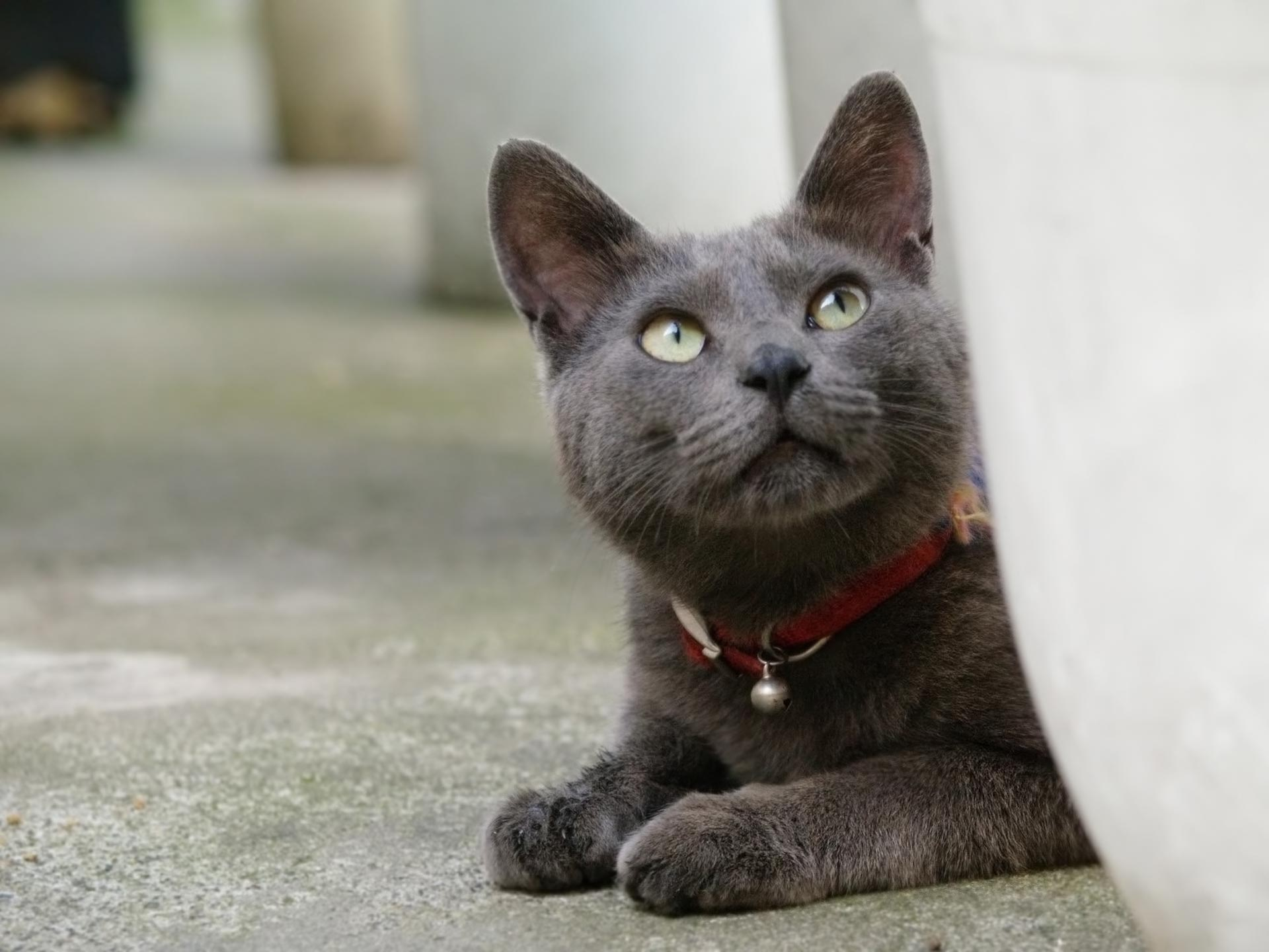 Korat Kitten: Korat Koratcatpersonality Breed