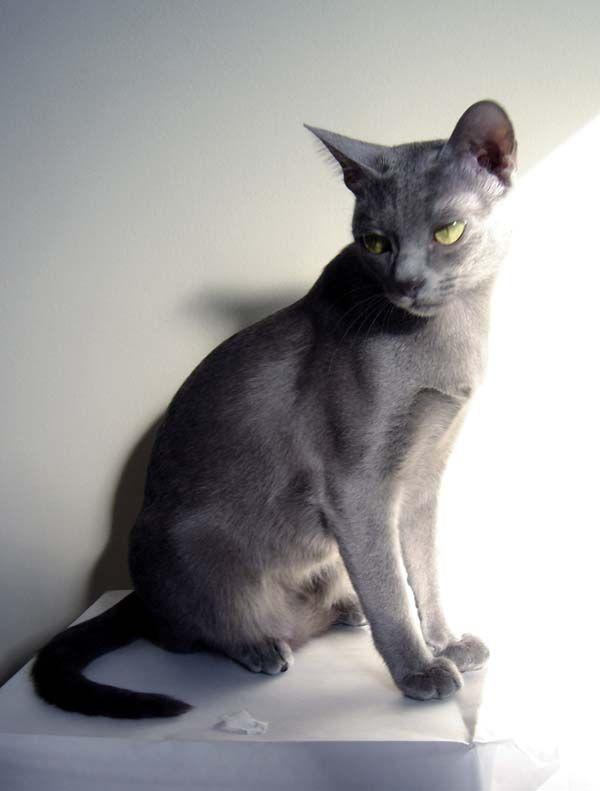 Korat Cat: Korat Usapetstoday Breed