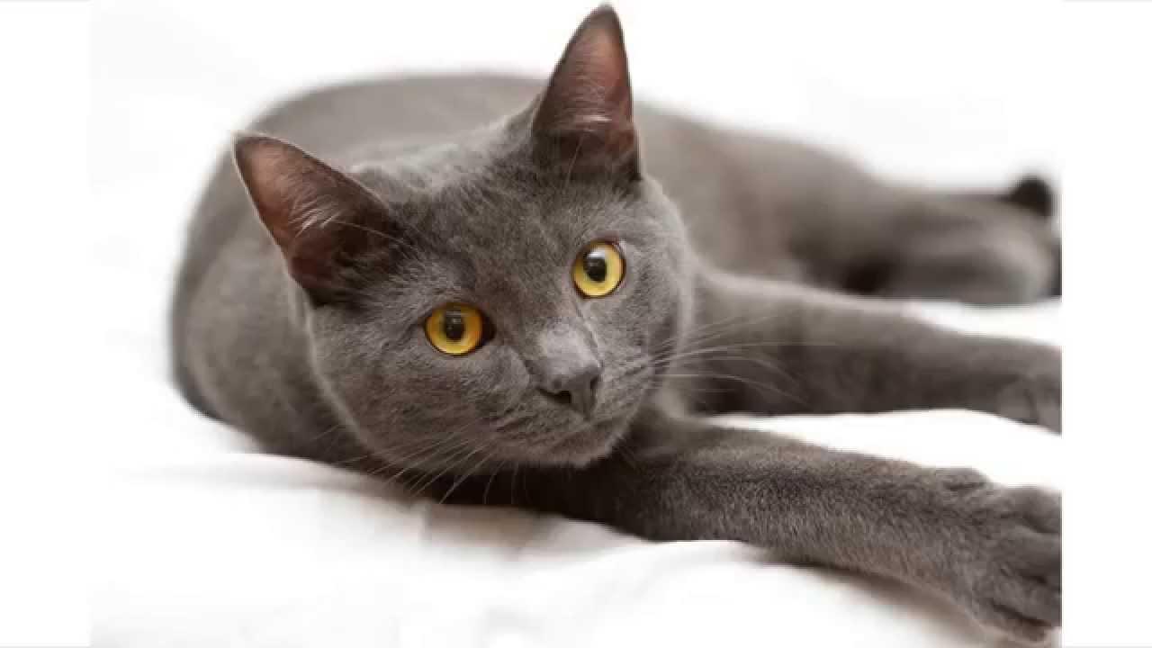 Korat Cat: Korat Watch Breed
