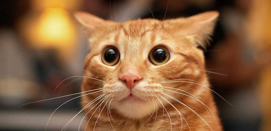 Korean Bobtail Kitten: Korean Asian Japanese Cat Breed