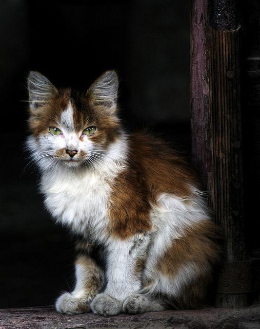 Korean Bobtail Kitten: Korean Beautiful Cats Breed