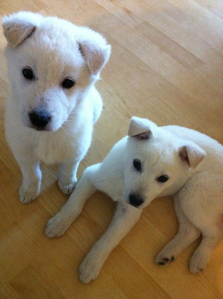 Korean Jindo Puppies: Korean Breed
