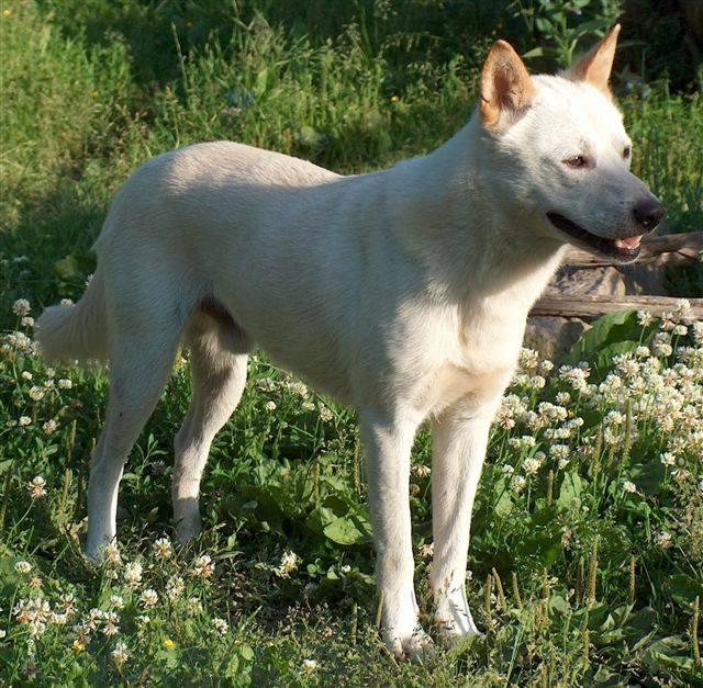 Korean Jindo Dog: Korean Dbcbdbc Korean Jindo Dog Breed