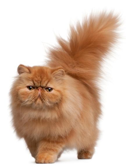Korean Bobtail Kitten: Korean Gatos Show O De Exposicion Breed