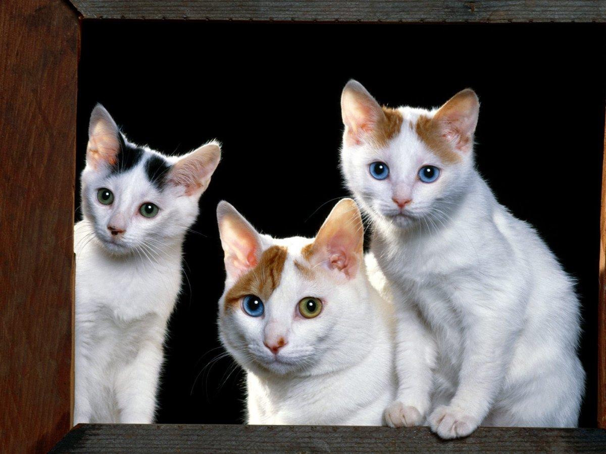 Korean Bobtail Kitten: Korean Japanese Bobtail Cat Breed