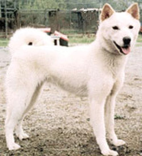 Korean Jindo Puppies: Korean Jindo Breed