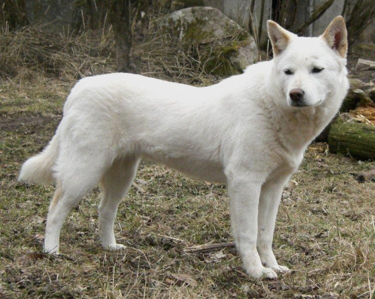 Korean Jindo Puppies: Korean Jindo Dog Breed