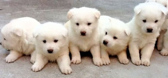 Korean Jindo Puppies: Korean Jindo Gae South Koreas National Treature Breed