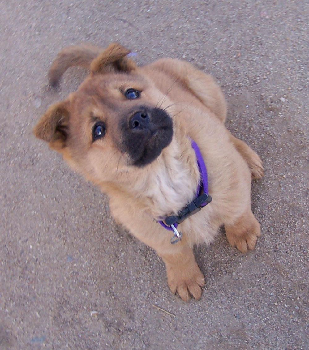 Korean Jindo Dog: Korean Jindopuppiesinca Breed