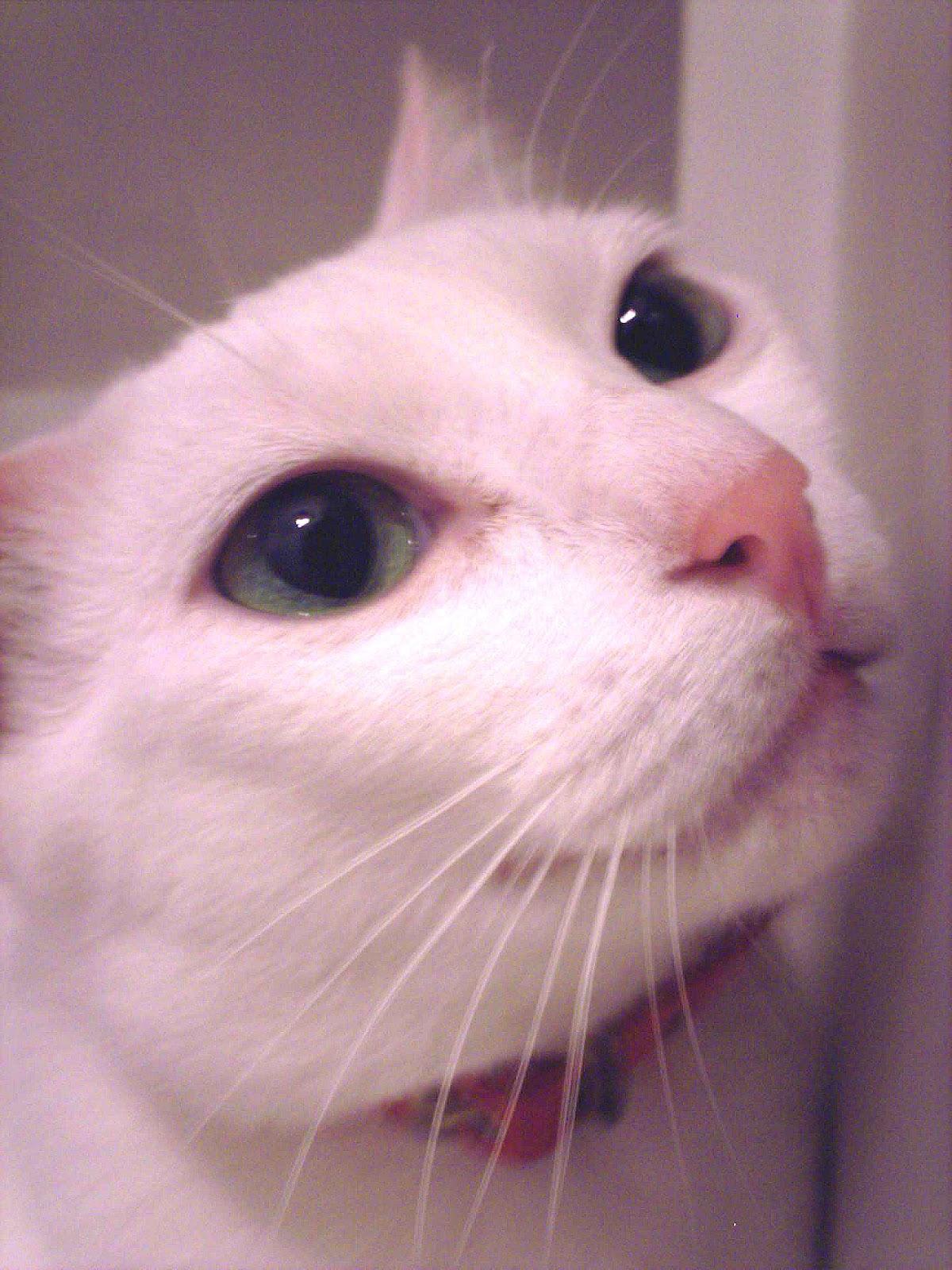 Korean Bobtail Kitten: Korean Kitti Cat Jpg Breed
