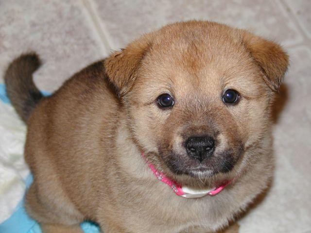 Korean Jindo Puppies: Korean Korean Jindo Breed