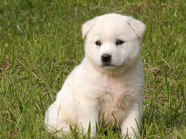 Korean Jindo Puppies: Korean Korean Jindo Dog Breed S