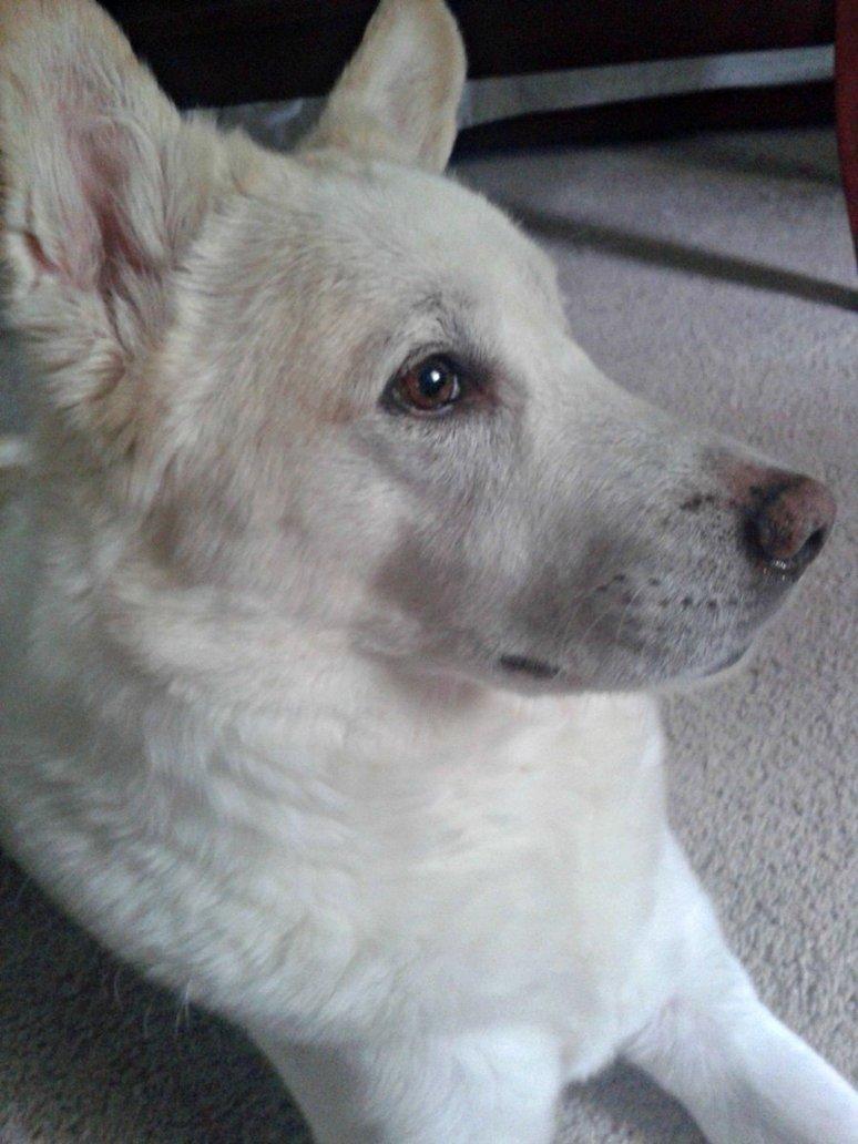 Korean Jindo Dog: Korean Korean Jindo Dog Face Breed