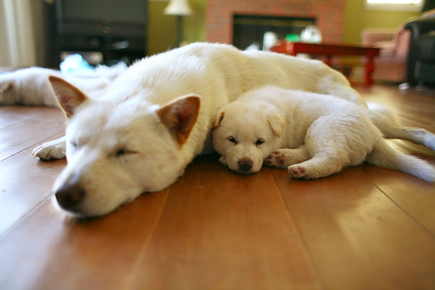 Korean Jindo Puppies: Korean Korean Jindo Puppy Breed