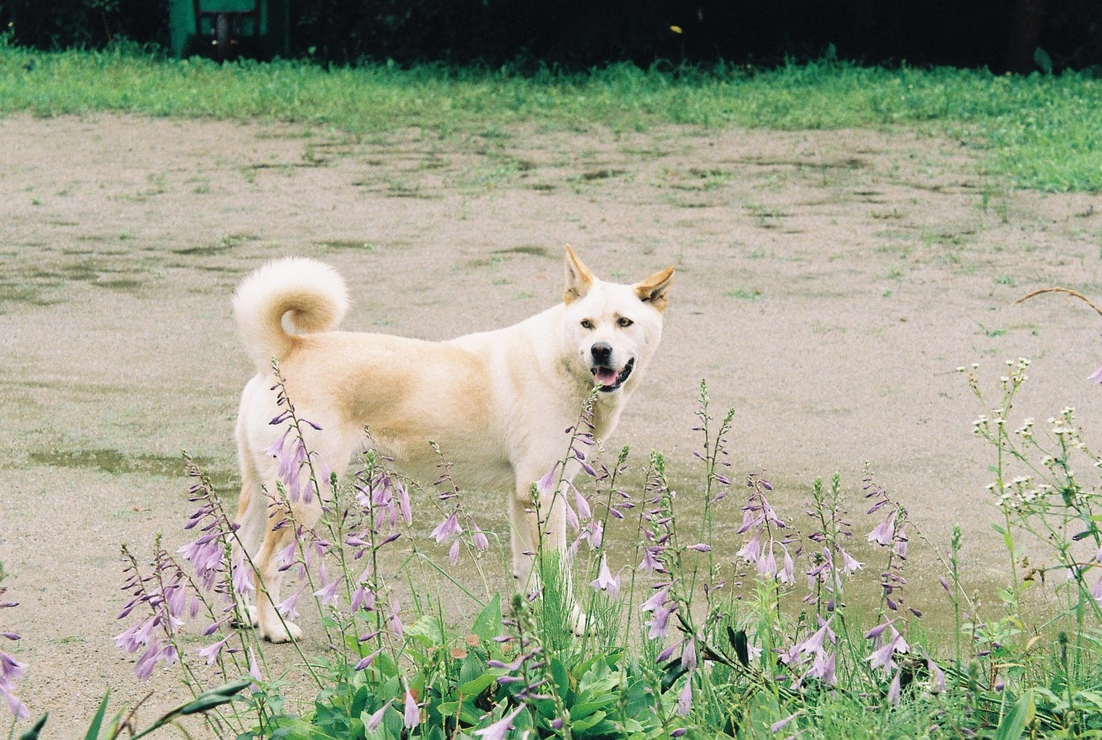 Korean Jindo Dog: Korean Nice Korean Jindo Dog Breed