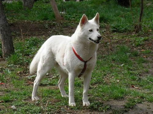 Korean Jindo Dog: Korean Open Breed