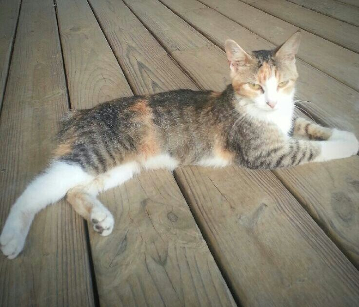 Korean Bobtail Cat: Korean Pets Breed
