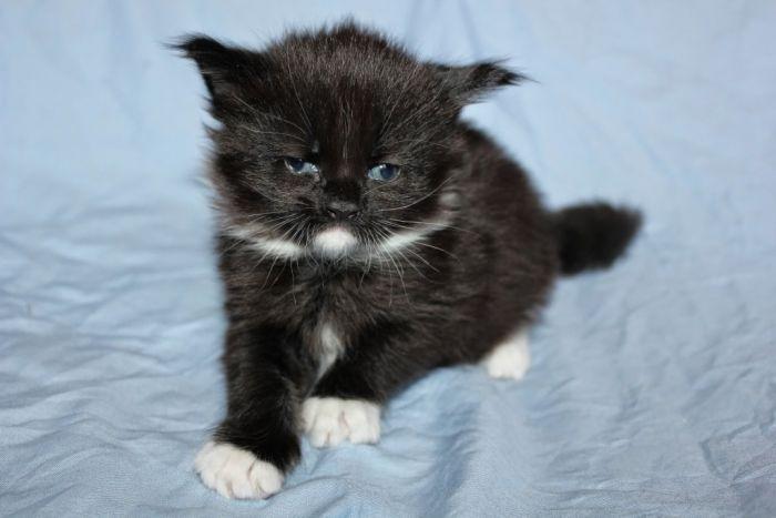 Korean Bobtail Kitten: Korean Russianblue Breed