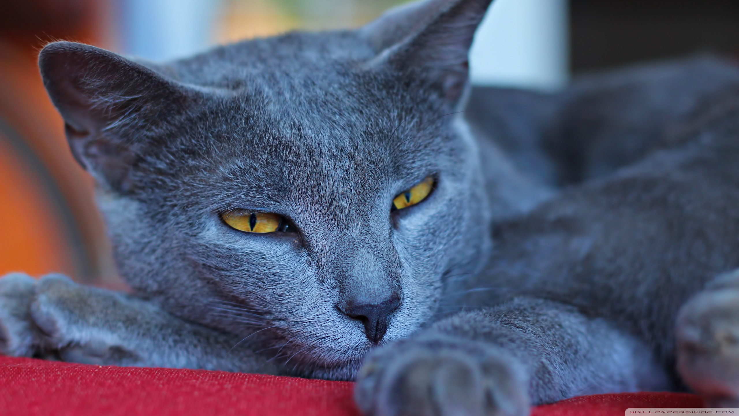 Korn Ja Cat: Korn Kindly Chartreux Face Breed