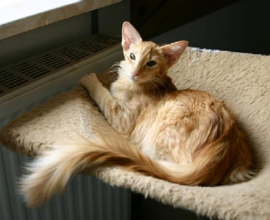 Korn Ja Cat: Korn Kindly Oriental Longhair Breed