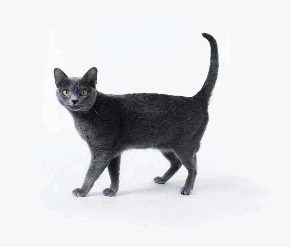 Korn Ja Kitten: Korn Korat Walking Breed