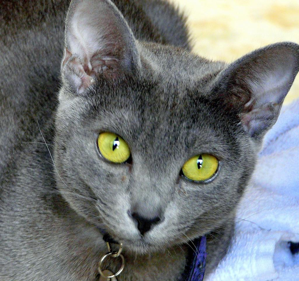 Korn Ja Kitten: Korn Korat With Green Eyes Breed