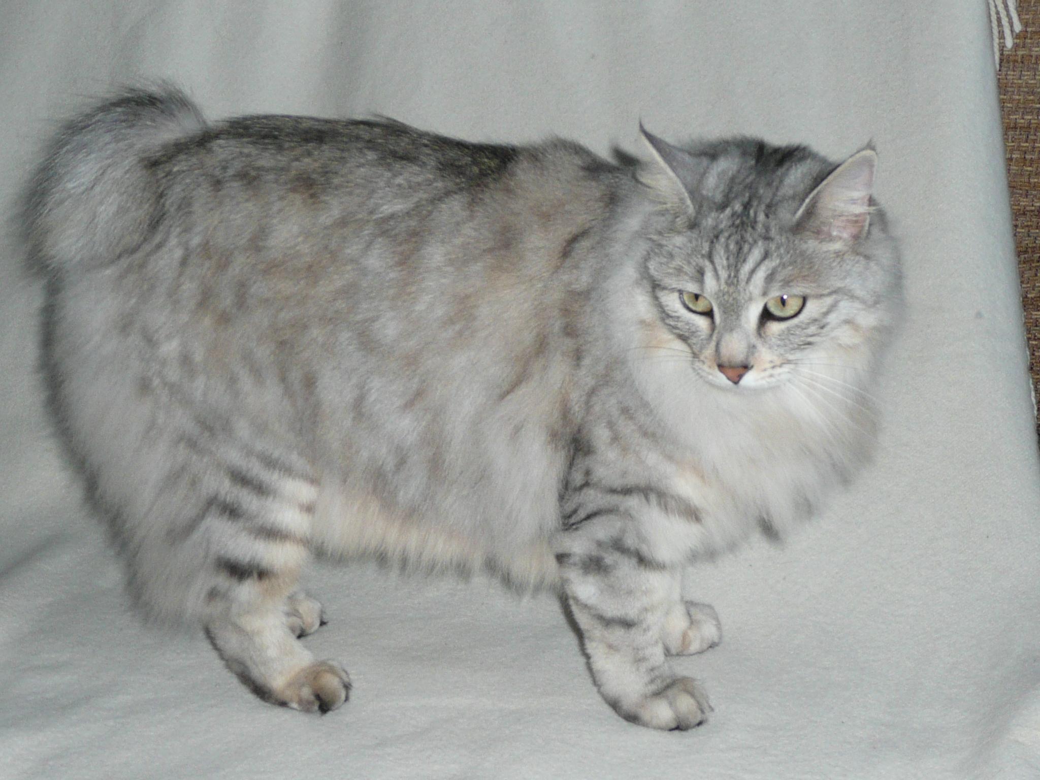 Korn Ja Kitten: Korn Kurilian Bobtail Breed